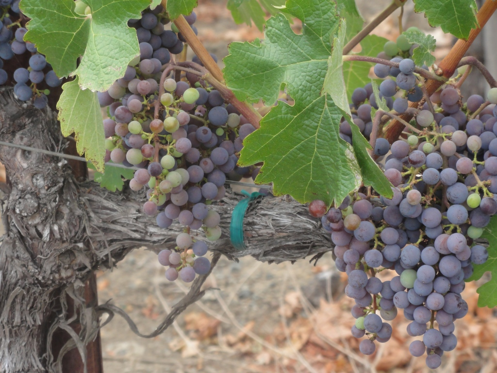 Tart grapes