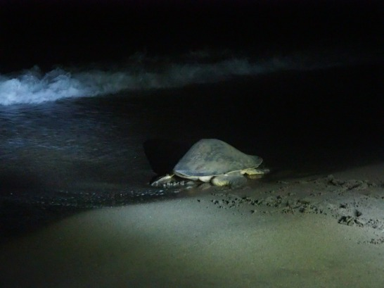 Mother turtle returning to the sea after laying eggs