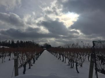 Vineyards in the winter